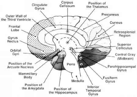 Medial Surface Cerebral Hemisphere